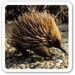 Spiny Anteater Live In Australia