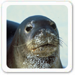 Caribbean Monk Seal Marine Mammals Picture