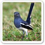 Magpie Robin Picture
