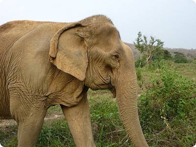 african elephant facts. and African elephants