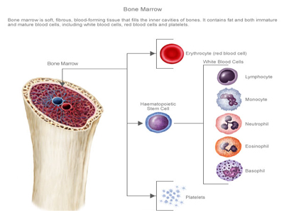 Where blood cells are made? Information of the world